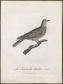 Turtur senegalensis - 1796-1808 - Print - Iconographia Zoologica - Special Collections University of Amsterdam - UBA01 IZ15600403.tif
