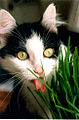 Tuxedo domestic short hair cat eats kitty grass.jpg