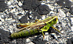 Two-striped Grasshopper.jpg