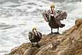 Two brown pelicans at Bodega Head on a windy day.jpg