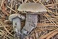 Tylopilus griseocarneus Wolfe & Halling 895397.jpg