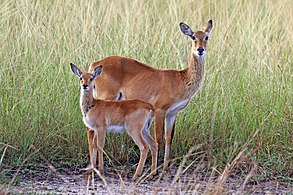 Ugandan kobs (Kobus kob thomasi) female and calf.jpg