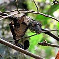 Uroplatus Ranomafana National Park.jpg