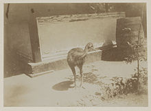 Cassowary images