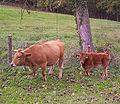 Vaca Asturiana de los valles.jpg