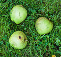 Valfruit, Appel Malus domestica Allington Pippin. Locatie, De Kruidhof Buitenpost.jpg