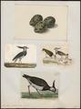 Vanellus cristatus - 1700-1880 - Print - Iconographia Zoologica - Special Collections University of Amsterdam - UBA01 IZ17200113.tif