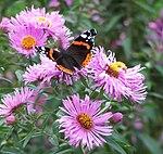 Vanessa atalanta on flowers (2006).jpg