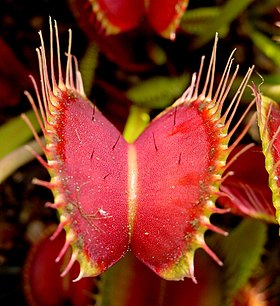 Venus Flytrap showing trigger hairs.jpg
