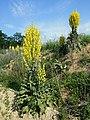 Verbascum speciosum sl30.jpg
