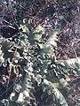 Verbascum undulatum 95987482.jpg