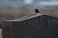 Vermilion Flycatcher (39422436462).jpg