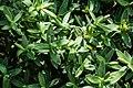 Veronica glaucophylla in Christchurch Botanic Gardens 01.jpg