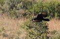 Verreaux's Eagle. Black Eagle, Aquila verreauxii (14082717725).jpg