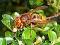 Vespa crabro germana 01.jpg