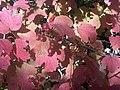 Viburnum opulus 7 - wetland.jpg