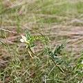 Vicia sylvatica-Vesce des bois-20160417.jpg