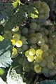Vigne Grappe Chardonnay (Festigny ) Cl.J.Weber (23309793489).jpg