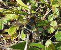 Villa cingulata . Bombyliidae - Flickr - gailhampshire (3).jpg