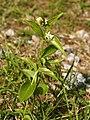 Vincetoxicum hirundinaria (habitus).jpg