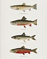Vintage illustrations by Denton from Game Birds and Fishes of North America digitally enhanced by rawpixel 02.jpg
