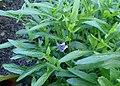 Viola palmata kz03.jpg