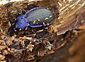 Violet Ground Beetle (Carabus problematicus) hibernating in dead wood (13537934283).jpg