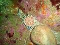 Violet spotted anemone at Rocky Bay PB022137.JPG