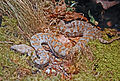 Viperidae - Macrovipera lebetina.JPG