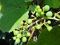 Vitis vinifera 'Riesling' - Botanischer Garten, Frankfurt am Main - DSC03205.JPG