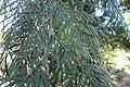 W Red Cedar 145.jpg