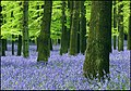 Wall to wall Bluebells, Dockey Wood,Ashridge Common - geograph.org.uk - 1516103.jpg