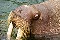 Walrus - Kamogawa Seaworld - 1.jpg