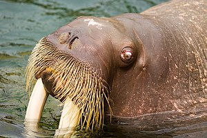 Walrus moustache - Whiskers (Vibrissae) of captive walrus (Japan)