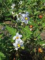 Warsaw Uniwersity Botanical Garden solanum sisymibriifolium.jpg
