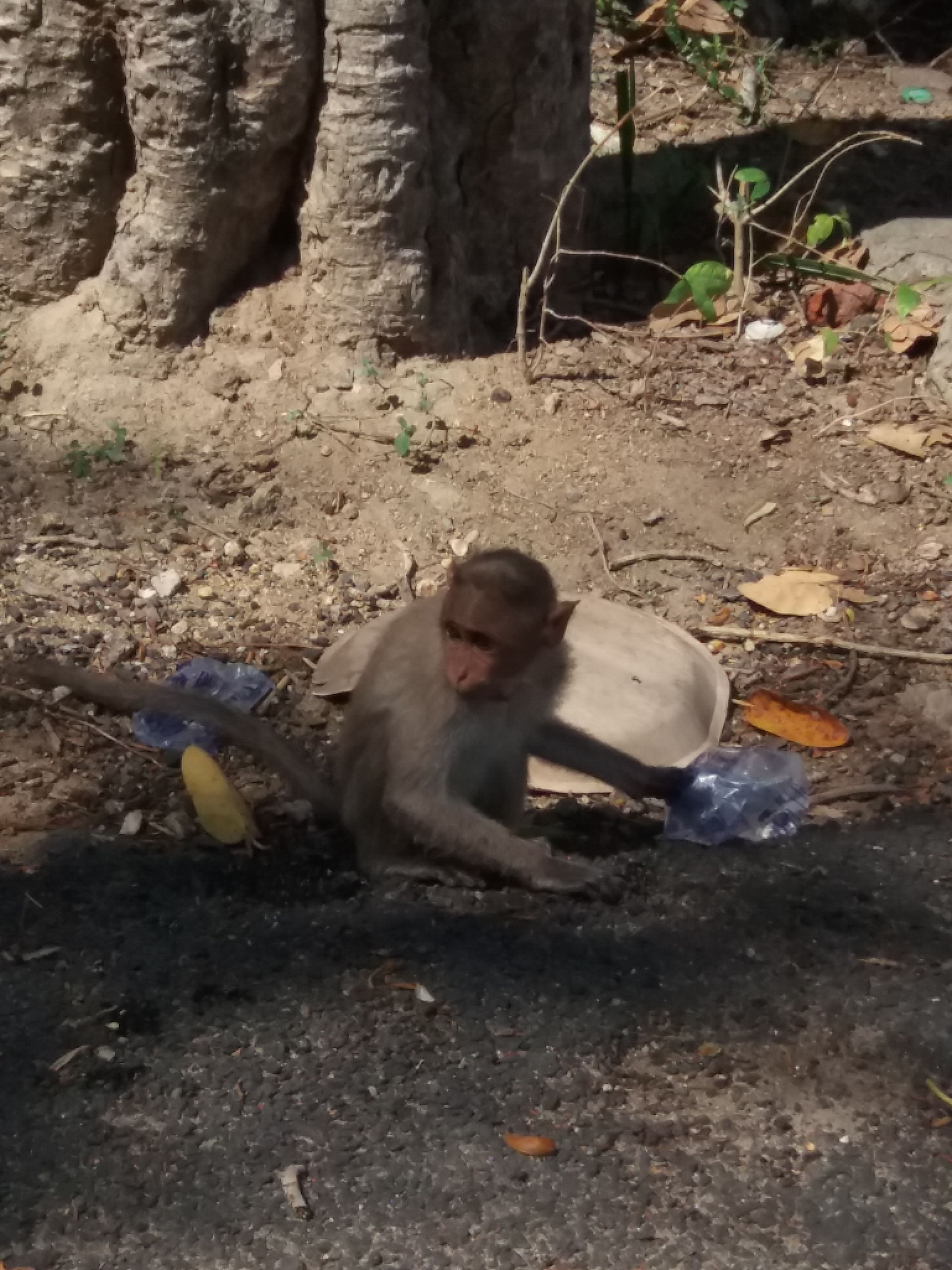Water scarcity affects a poor monkey