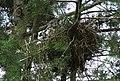 Wattled ibis in tree nest.jpg