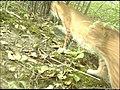 We finally captured an image of a bobcat! (6240827511).jpg