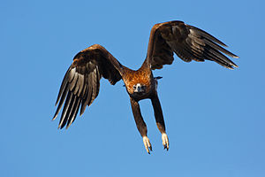 Wedge-tailed eagle - Taking off from its perch, the long legs of this adult female are clearly visible.