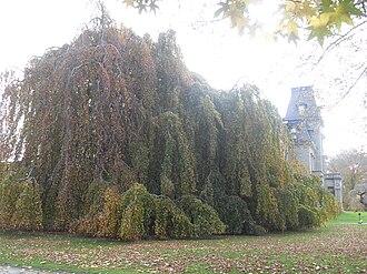 Weeping beech - Weeping beech, Chateau-sur-Mer, Newport, Rhode Island