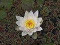 Weiße Seerose im Botanischen Garten Erlangen.JPG
