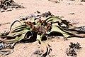 Welwitschia mirablis-1500 - Flickr - Ragnhild & Neil Crawford.jpg