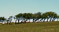 West wind trees 01 (3582150398).jpg
