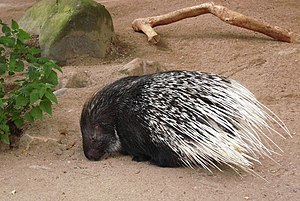 Crested porcupine - Crested porcupine in captivity