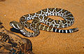 Western Diamond-backed Rattlesnake (Crotalus atrox) young (captive specimen) (14688594389).jpg
