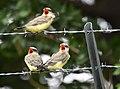 Western Kingbird (fledges and parents) (42714204145).jpg