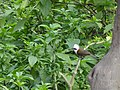 White-crested Laughingthrush - Garrulax leucolophus - DSC01079.jpg