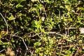 White-throated sparrow (45301227702).jpg