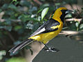 White Edged Oriole RWD2.jpg
