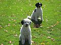 White and Black Portuguese Water Dogs.jpg